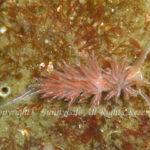 アカエラミノウミウシ 学名:Sakuraeolis enosimensis