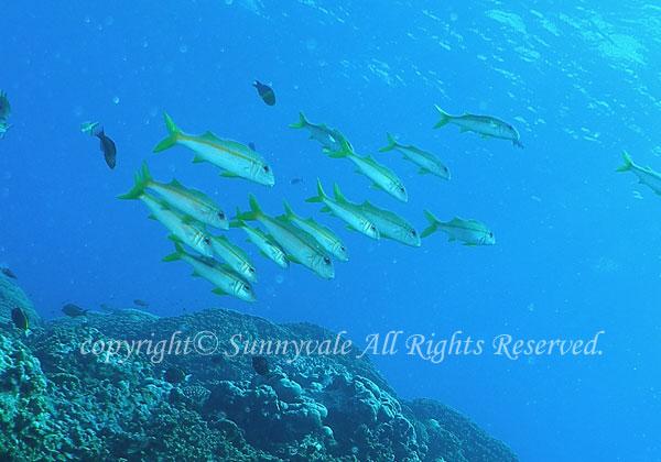 アカヒメジ 学名:Mulloidichthys vanicolensis