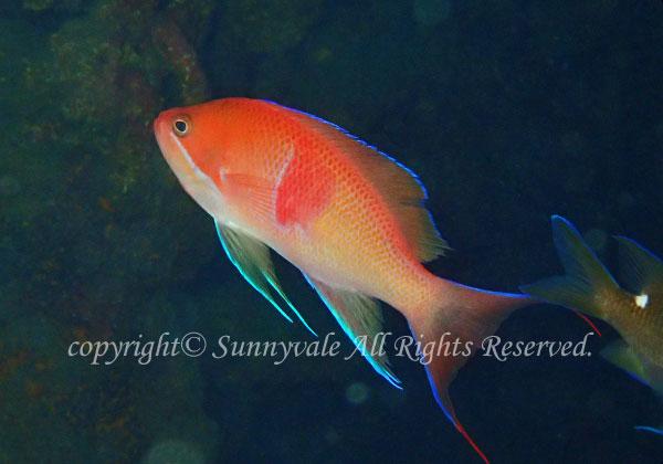 アカオビハナダイ 学名:Pseudanthias rubrizonatus
