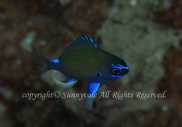 アマミスズメダイ 幼魚 学名:Chromis chrysura