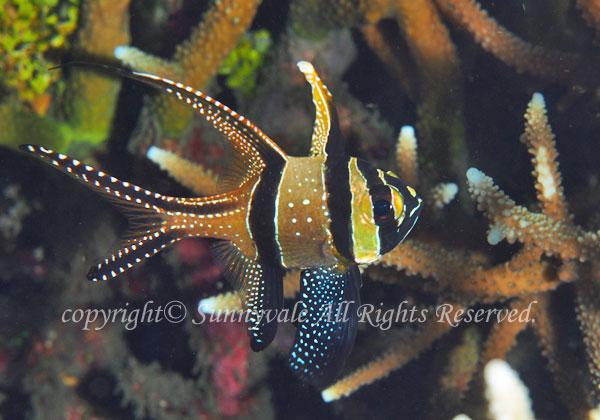 バンガイカーディナルフィッシュ 学名:Pterapogon kauderni