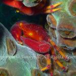 ベニサンゴガニ 学名:Quadrella boopsis
