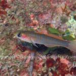 チャガラ 学名:Pterogobius zonoleucus