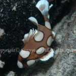チョウチョウコショウダイ 幼魚 学名:Plectorhinchus chaetodontoides
