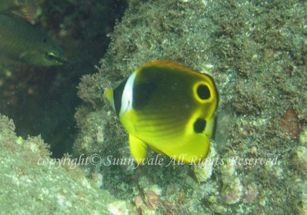 チョウハン幼魚 学名:Chaetodon lunula
