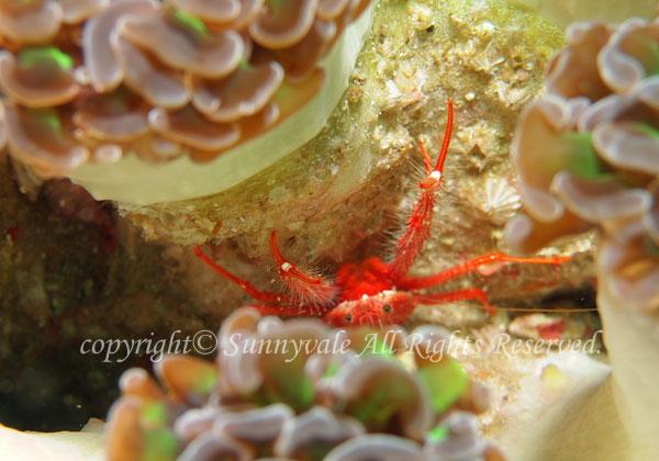 チュウコシオリエビ 学名:Munida japonica