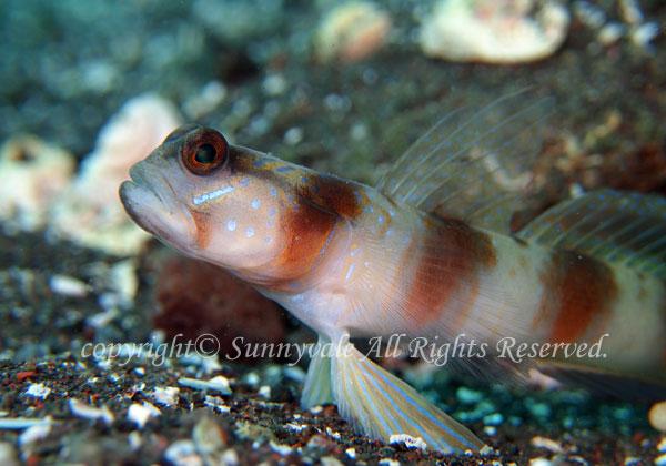 ダテハゼ 学名:Amblyeleotris japonica