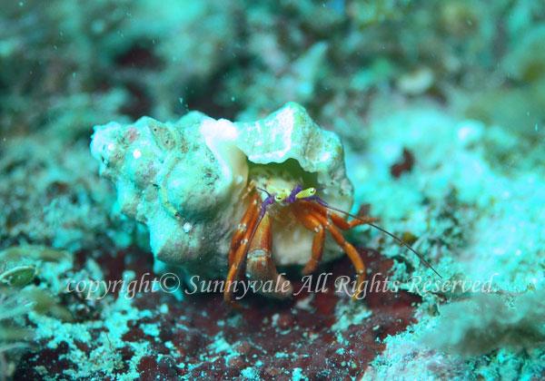 フルセゼブラヤドカリ 学名:Pylopaguropsis furusei