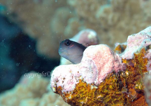 フタイロカエルウオ 学名:Ecsenius bicolor