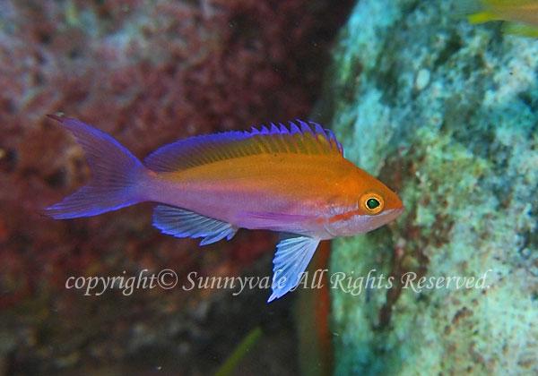 フタイロハナゴイ 学名:Pseudanthias bicolor