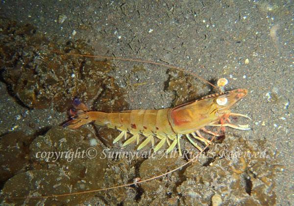 フトミゾエビ 学名:Penaeus latiaulcatus
