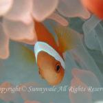 ハマクマノミ 幼魚 学名:Amphiprion frenatus