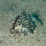 ハマフグ 学名:Tetrosomus concatenatus