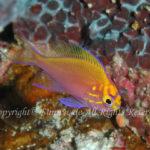 ハナゴンベ 幼魚 学名:Serranocirrhitus latus