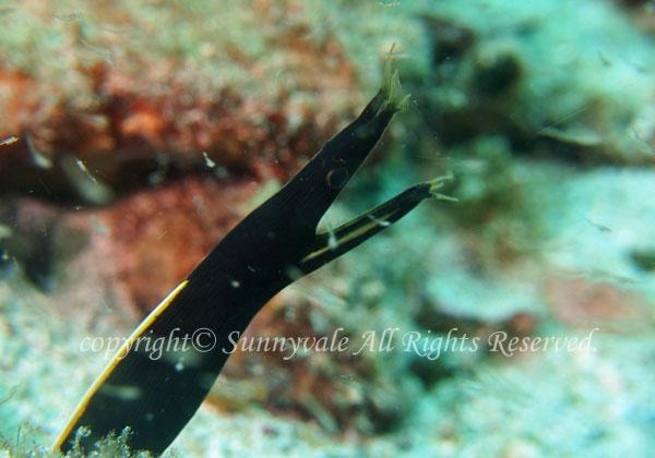 ハナヒゲウツボ幼魚 学名:Rhinomuraena quaesita