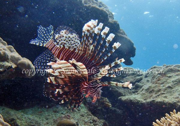 ハナミノカサゴ 学名:Pterois volitans