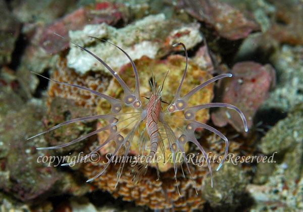 ハナミノカサゴ 幼魚 学名:Pterois volitans