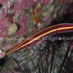 ハシナガウバウオ 学名:Diademichthys lineatus