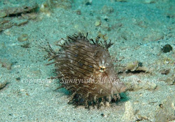 ヒゲハギ 学名:Chaetodermis penicilligera