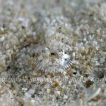 ヒゲモジャハゼ 学名:Barbuligobius sp