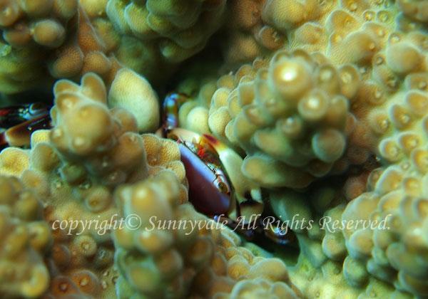 ヒメサンゴガニ属の一種 学名:Tetralia sp