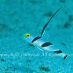 ヒレナガネジリンボウ 学名:Stonogobiops nematodes