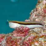 ヒトスジギンポ 学名:Ecsenius lineatus