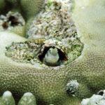 ホホグロギンポ 学名:Blenniella bilitonensis