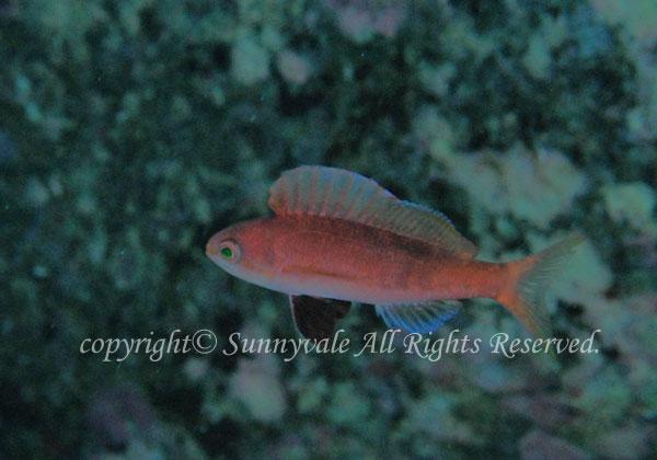 ホカケハナダイ 学名:Rabaulichthys suzukii
