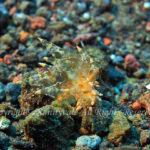 ホリミノウミウシ属の一種 学名:Eubranchus sp