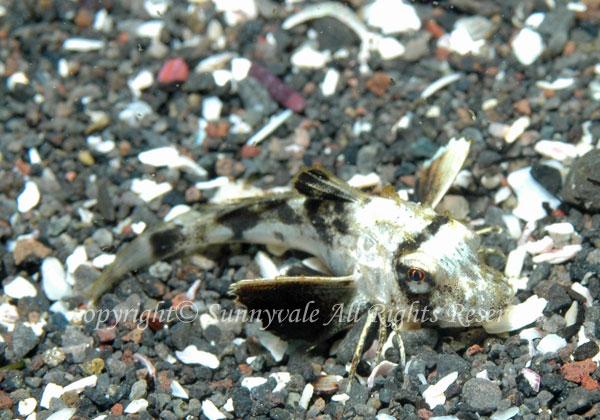 ホウボウ 幼魚 学名:Chelidonichthys spinosus