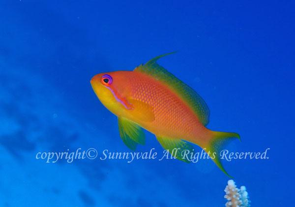 キンギョハナダイ 学名:Pseudanthias squamipinnis