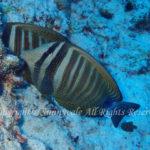 インディアンセイルフィンサージョンフィッシュ 学名:Zebrasoma desjardinii