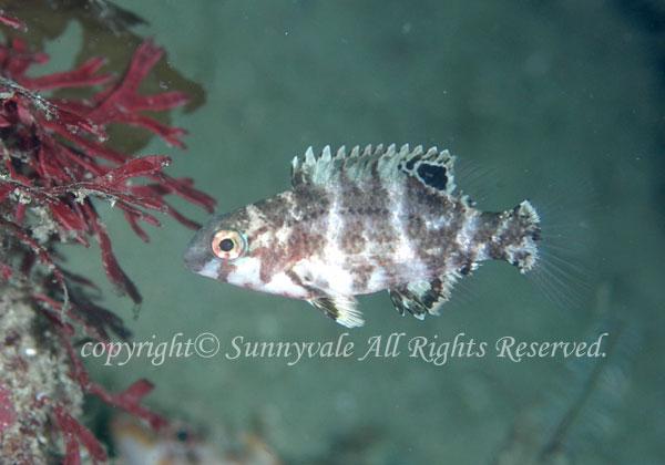 イラ幼魚 学名:Choerodon azurio