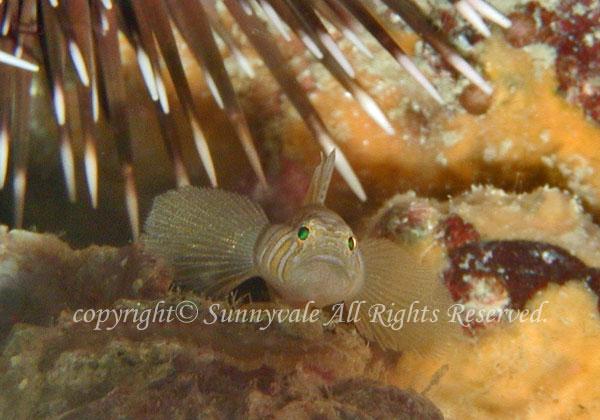 イレズミハゼ 学名:Priolepis semidoliata