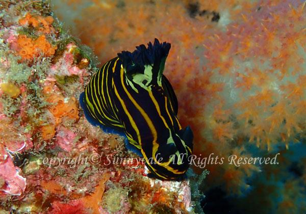 イシガキリュウグウウミウシ 学名: Tyrannodoris luteolineata