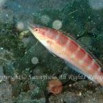 イトベラ 学名:Suezichthys gracilis