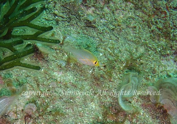 イトフエフキ幼魚 学名:Lethrinus genivittatus