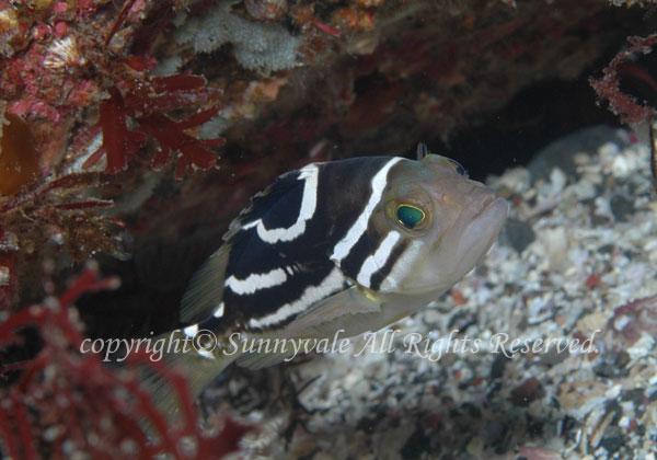 イヤゴハタ 学名:Epinephelus poecilonotus