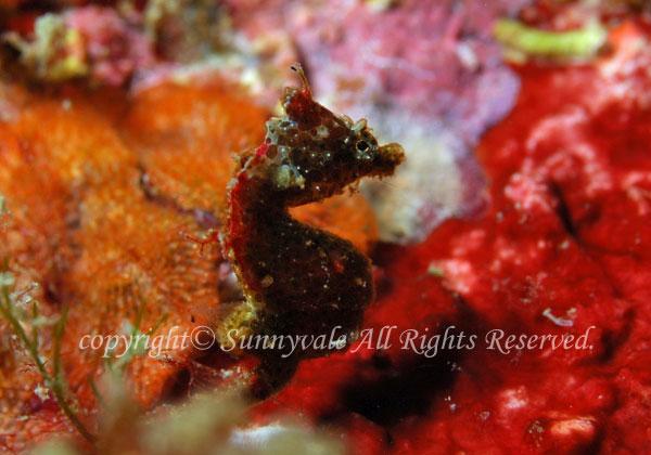 ジャパニーズピグミーシーホース 学名:Hippocampus sp