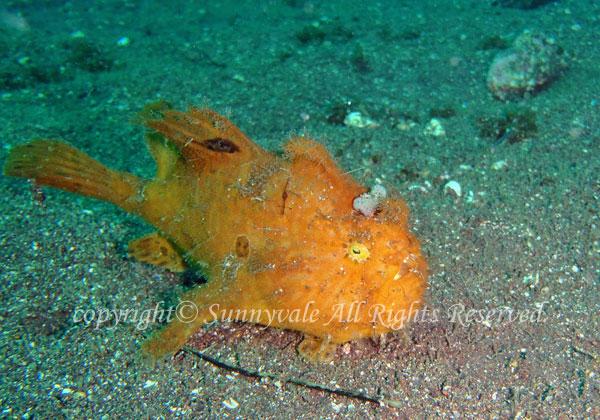 カエルアンコウ 学名:Antennarius striatus