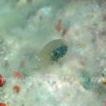 カイメンカクレエビ属の一種 学名:Periclimenaeus sp