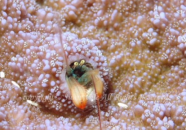 カンザシヤドカリ属の一種 学名: Paguritta sp