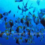 カスミチョウチョウウオ 群れ 学名:Hemitaurichthys polylepis