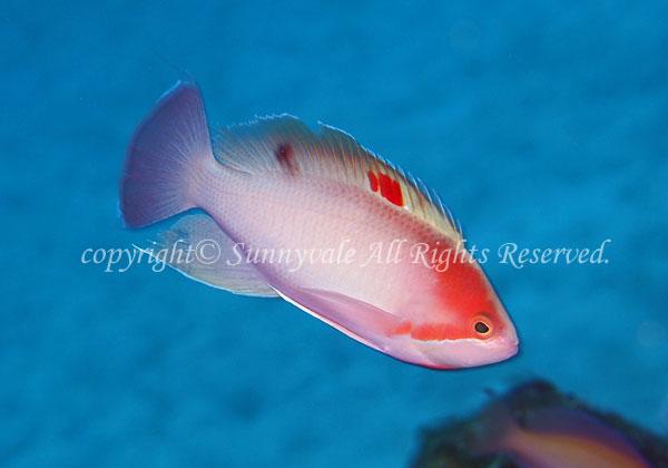 ケラマハナダイ・オス 学名:Pseudanthias hypselosoma