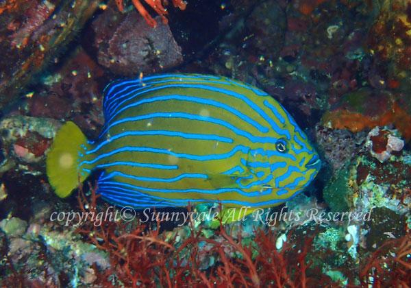キンチャクダイ 学名:Chaetodontoplus septentrionalis