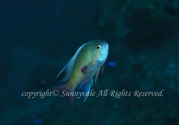 キンギョハナダイ・オス 学名:Pseudanthias squamipinnis