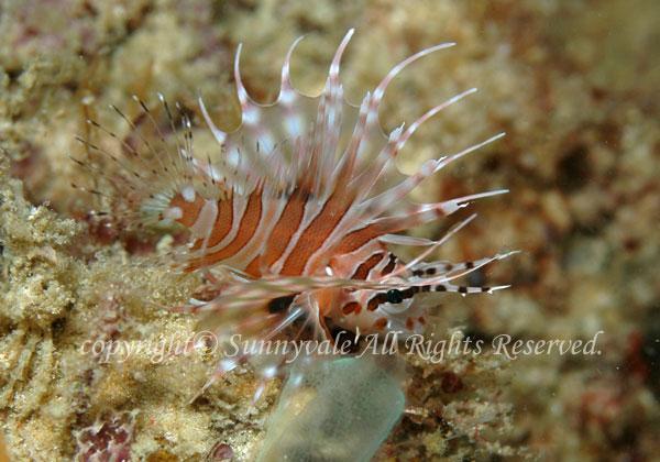 キリンミノカサゴ 幼魚 学名:Dendrochirus zebra