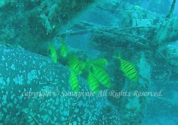 コガネシマアジ 学名:Gnathanodon speciosus
