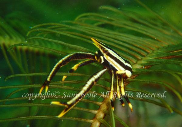 コマチコシオリエビ 学名:Allogalathea elegans